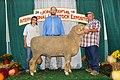 Grand Champion Rambouillet Ram (44234010645).jpg