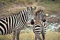 Grant's Zebras in Kenya.jpg