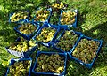 Grape harvest in Chateaux Luna vineyard 3.jpg
