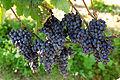 Grapes uva.jpg