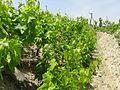 Grapevine-Malekan1.jpg