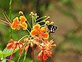 Grass Demon Udaspes folus nectaring by Dr. Raju Kasambe DSCN1591 (7).jpg