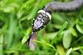 Grass Snake (Natrix natrix) (7345073926).jpg