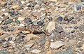 Grasshopper in Quesnel, BC (DSCF5155).jpg
