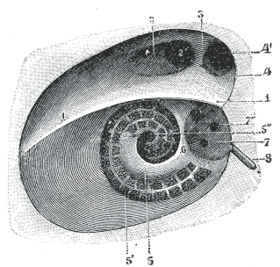 Diagrammatic view of the fundus of the right internal acoustic meatus.