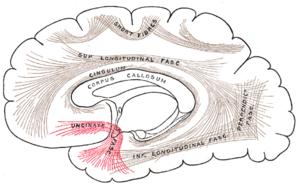 Uncinate fasciculus - Image: Gray 751 Uncinate fasciculus