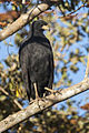 Great Black-Hawk - Pantanal - Brazil H8O0868 (15340477488).jpg