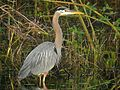 Great Blue Heron (Ardea herodias) (8293410549).jpg