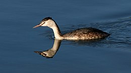 Great Crested Grebe (Podiceps cristatus) (2).jpg