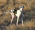 Great Dane three-legged harlequin.jpg