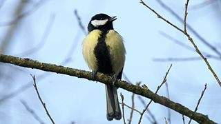 Great Tit (Parus major) (10).jpg