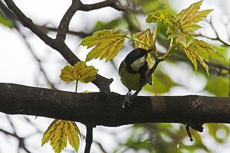 Great Tit Lodz(Poland)(js)13.jpg