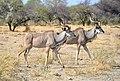 Greater Kudu, Etosha National Park (Namibia).jpg