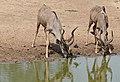 Greater Kudus (Tragelaphus strepsiceros) male drinking ... (32032654412).jpg