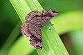 Greater scintillant (Calephelis sixola).jpg