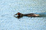 Grebe going in for the kill - Lackford Lakes (27321524452).jpg