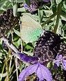 Green Hairstreak.Callophrys rubi - Flickr - gailhampshire (1).jpg
