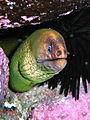 Green Moray Eel-Gymnothorax prasinus.jpg