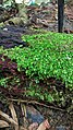Green algae lata kolam.jpg