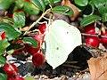 Green butterfly eating berries (3836324291).jpg