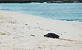 Green sea turtle (4202520232).jpg