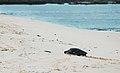 Green sea turtle (4202520232).jpg