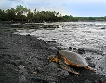 .::Tortuga Verde::. 220px-Green_turtle_Chelonia_mydas_is_basking_on_Punaluu_Beach_Big_Island_of_Hawaii