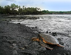 Green turtle Chelonia mydas is basking on Punaluu Beach Big Island of Hawaii.jpg