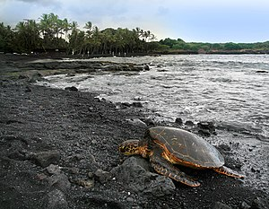 Punalu'u Beach - A green turtle basking on the beach