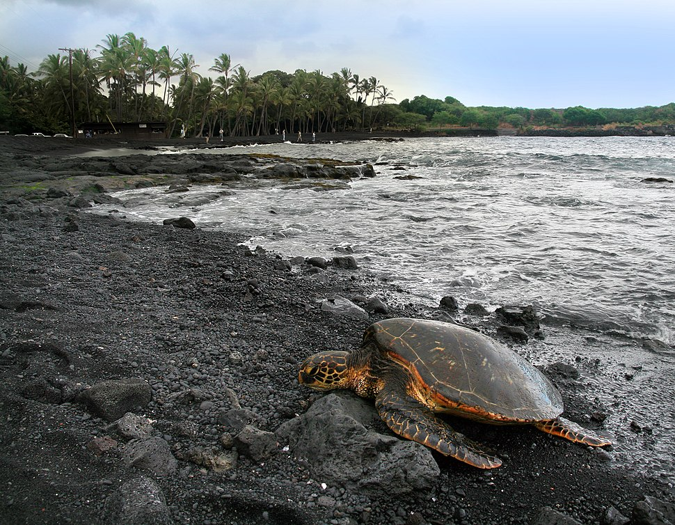 Green turtle Chelonia mydas is basking on Punaluu Beach Big Island of Hawaii