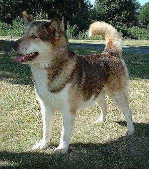 Greenland Dog.