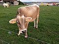 Grenchen - Grey Brown Cow.jpg