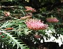Grevillea Poorinda Anticipation.jpg