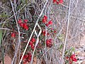 Grevillea alpina (5059787254).jpg
