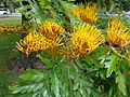 Grevillea robusta leaves and flowers 1.jpg