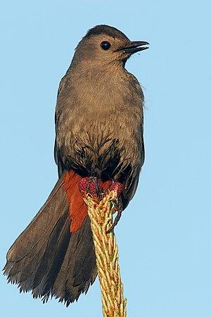 Catbird seat - The gray catbird, Dumetella carolinensis