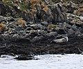 Grey Seal at Rathlin, Northern Ireland.jpg