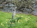 Grey heron at The Long Water in Hyde Park - panoramio.jpg