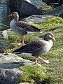 Greylag Goose, Grasagarður Reykjavíkur.jpg