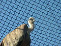 Griffon Vulture 03.JPG