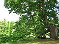 Großer Baum im Bodnant Garden.JPG