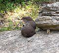 Groundhog (Marmota monax) - Flickr - Jay Sturner.jpg