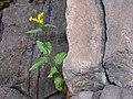 Groundsel growing in rock crack. (5b3a3ecc53154be1a4728bf4717c3447).JPG