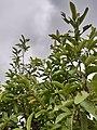 Guava Tree below the sky 01.jpg