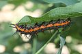 Gulf Fritillary Caterpillar on a passion fruit vine.JPG