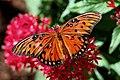 Gulf fritillary butterfly (20546074144).jpg