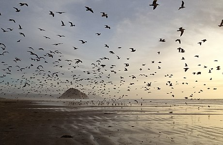 1000's of Gulls on Morro Strand State Beach at low tide with Morro Rock in background.