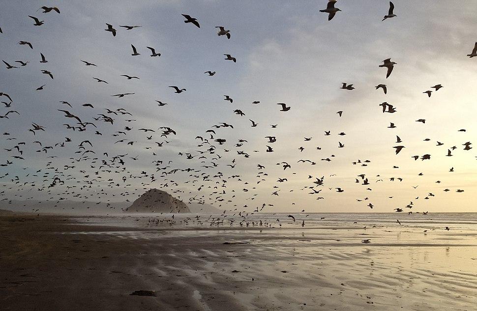 Gulls on Morro Strand State Beach
