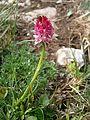 Gymnadenia rubra RHu 09.JPG