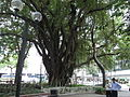 HK TST Urban Council Centenary Garden 加連威老道 Granville Road old tree 01.JPG